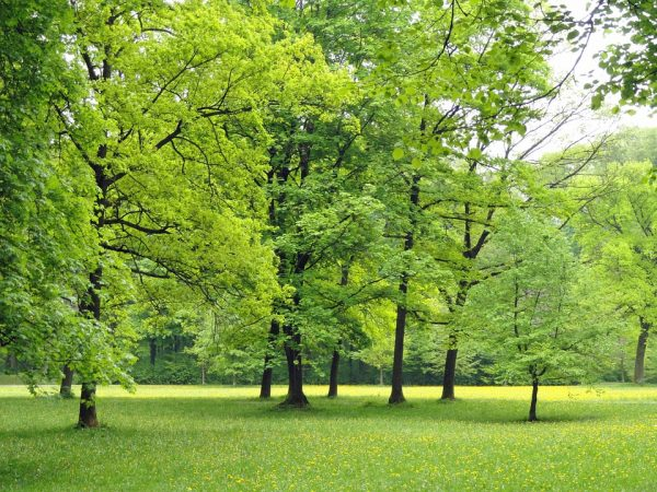 Trees in an open green park