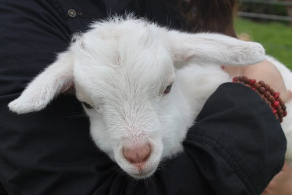 A white lamb in a person's arms