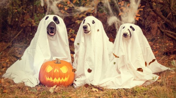 Three dogs in halloween costumes